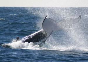 Whale Watching Sydney - Redcliffe Tourism