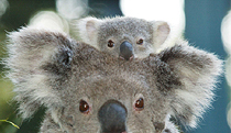 Billabong Koala and Wildlife Park - Redcliffe Tourism