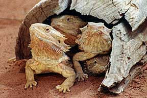 Alice Springs Reptile Centre - Redcliffe Tourism